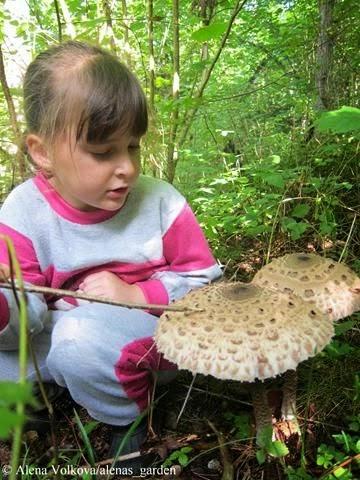 гриб зонтик фото и описание и приготовление